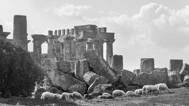 Greek temple and sheeps in Selinunte